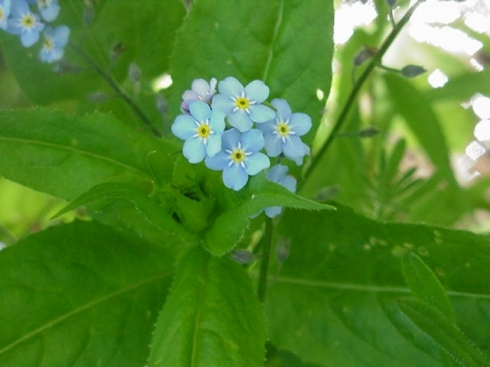 ForgetMeNotTrue051916A No 2