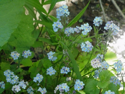ForgetMeNotTrue051916B